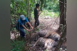 BKSDA Telusuri Penyebab Tiga Harimau Sumatera Mati di Pinggir Hutan di Aceh