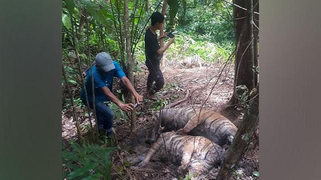 BKSDA Telusuri Penyebab Tiga Harimau Sumatera Mati di Pinggir Hutan di Aceh.lelemuku.com.jpg