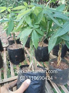 pohon pachira
