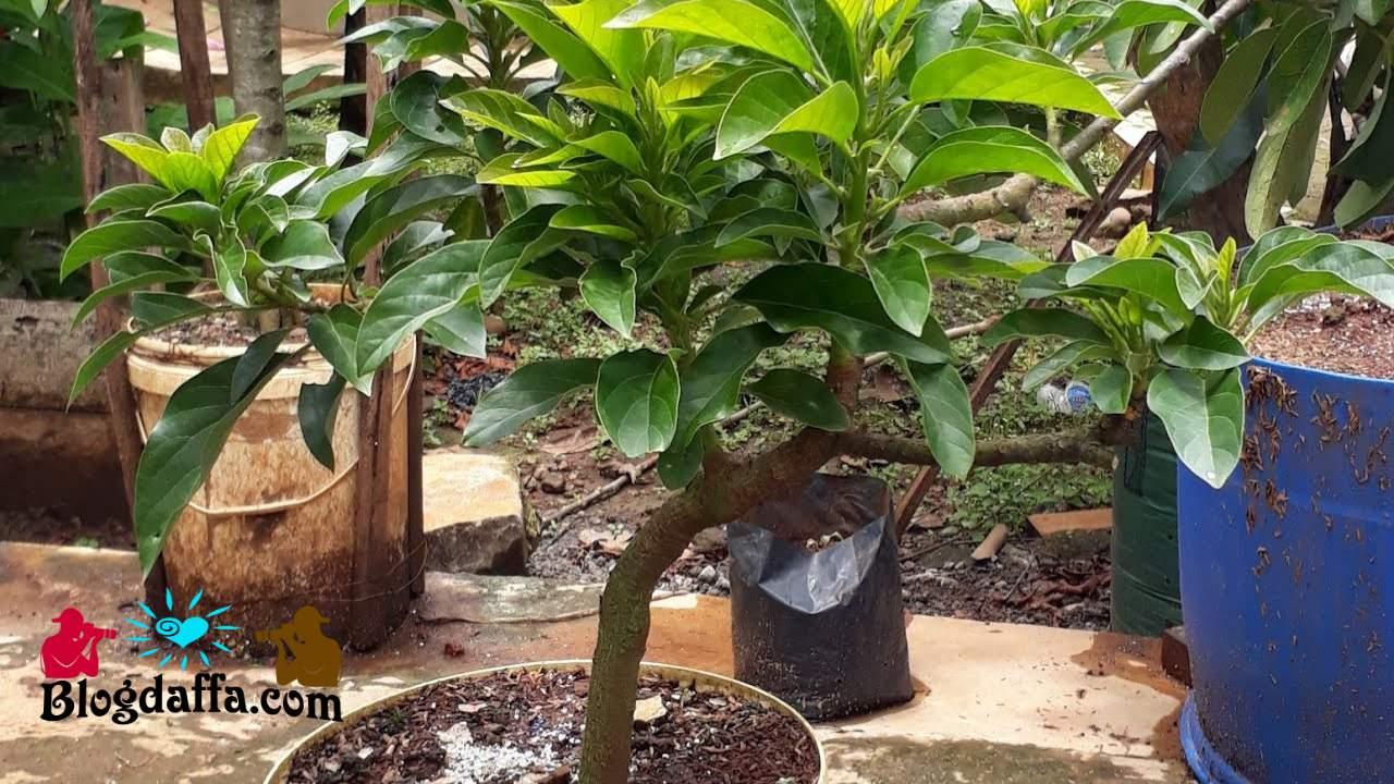 Cara merawat tanaman alpukat di pot