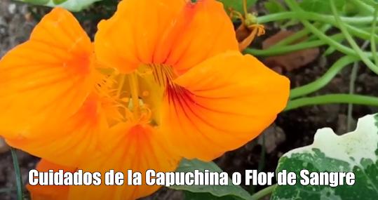 Cuidados de la Capuchina o Flor de Sangre (Video)