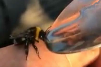 Video Bikin Heboh, Seorang Pria Beri Lebah Cairan Ekstasi