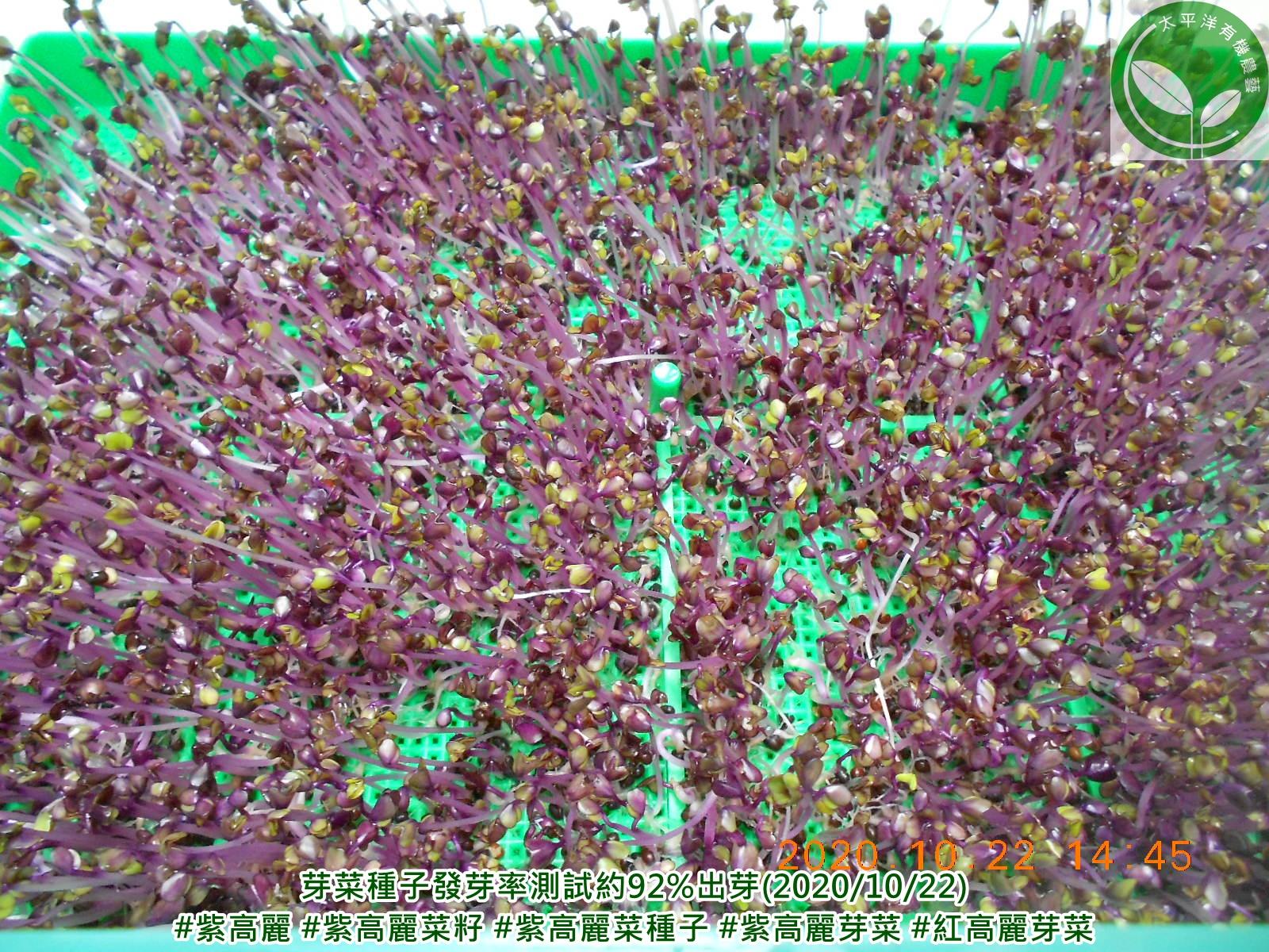 高麗菜芽食譜,紫高麗菜,紫色高麗菜,紫色甘藍菜,紫高麗菜食譜,紫高麗菜營養,紫甘藍汁,紫甘藍菜,高麗菜幼苗,紅高麗