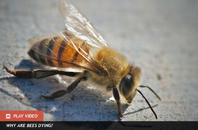 Africanized Bees lebah madu paling beracun di dunia
