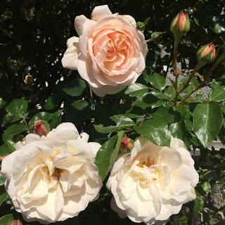 Rose-generosa-Martine-guillot-blog-paris-a-louest