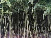 Pohon SENGON: Panduan Menanam dan Merawat pohon Sengon untuk Pemula