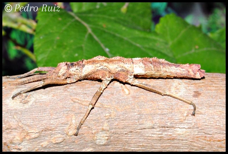 Ninfa hembra L6 de Dares philippinensis, 3,9 cm de longitud