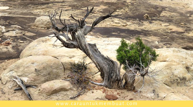 Juniper Tree on Canyonlands 2