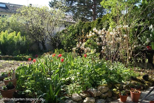 Felsenbirne, Tulpen und Euphorbia Anfang April
