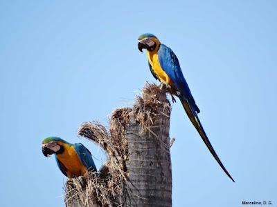 Ninho, arara, arara canindé, Arara-de-barriga-amarela, Ara ararauna, Blue-and-yellow Macaw, Macaw, aves, arara, aves do Brasil, animal, fotos de arara, foto arara-canindé, foto arara de barriga amarela, Tocantins, natureza