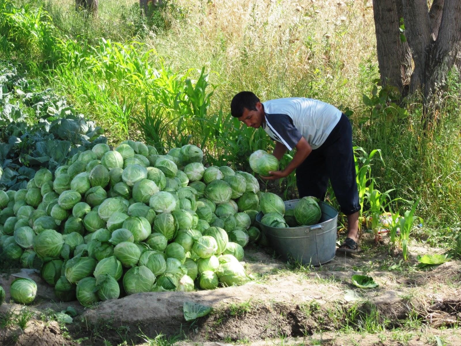 市場へキャベツを持って行くタジク人の農夫