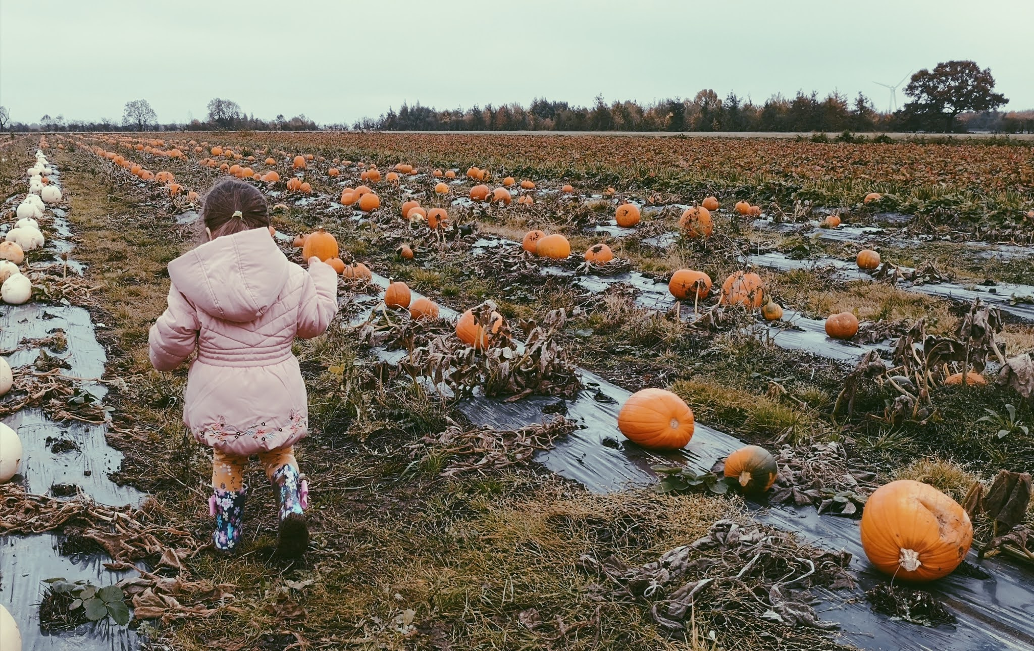 A picture of a toddler wearing floral wellies and leggings in a pale pink winter coat pumpkin picking at Wymeswold Fruit Farm on a grey, wet autumn afternoon.