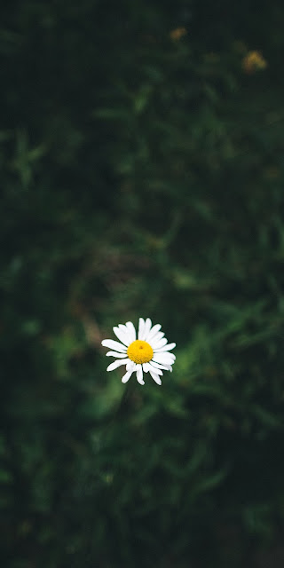 The lonely daisy