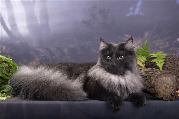 Norveç orman kedisi - N hayvan