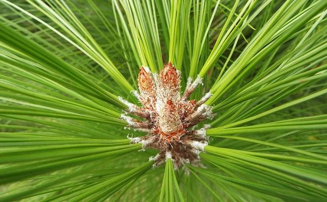Pino mexicano amarillo Pinus patula