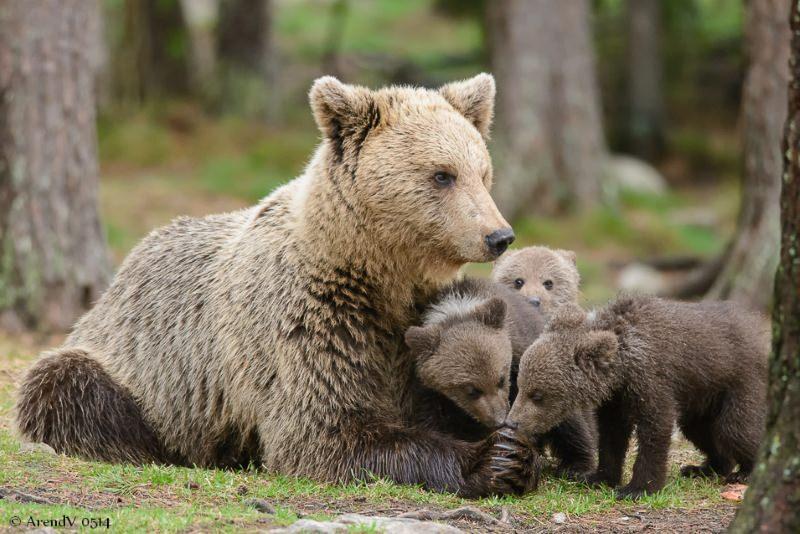 ursa com crias