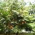 கன்னியரின் மனக்குறையைப் போக்கும் அசோக மரம் - Asoka tree