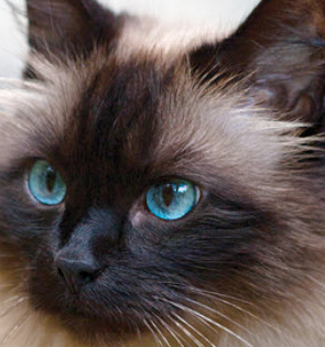 Birman Cat vs Ragdoll Personality, Size, Lifespan, Price