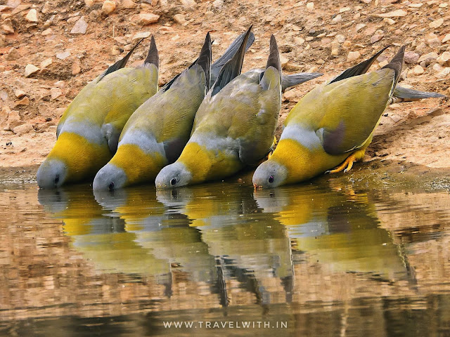 Yellow footed Green Pigeons