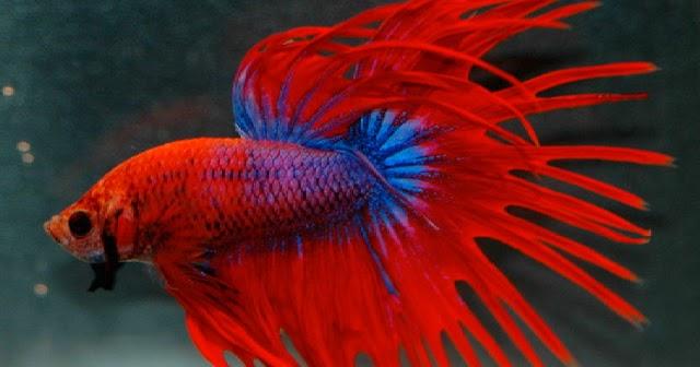 720 Gambar Ikan Cupang Bertarung Gratis Terbaik