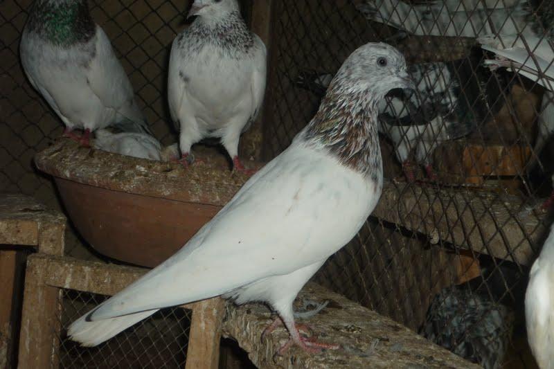 Sale Olx Karachi Pigeon