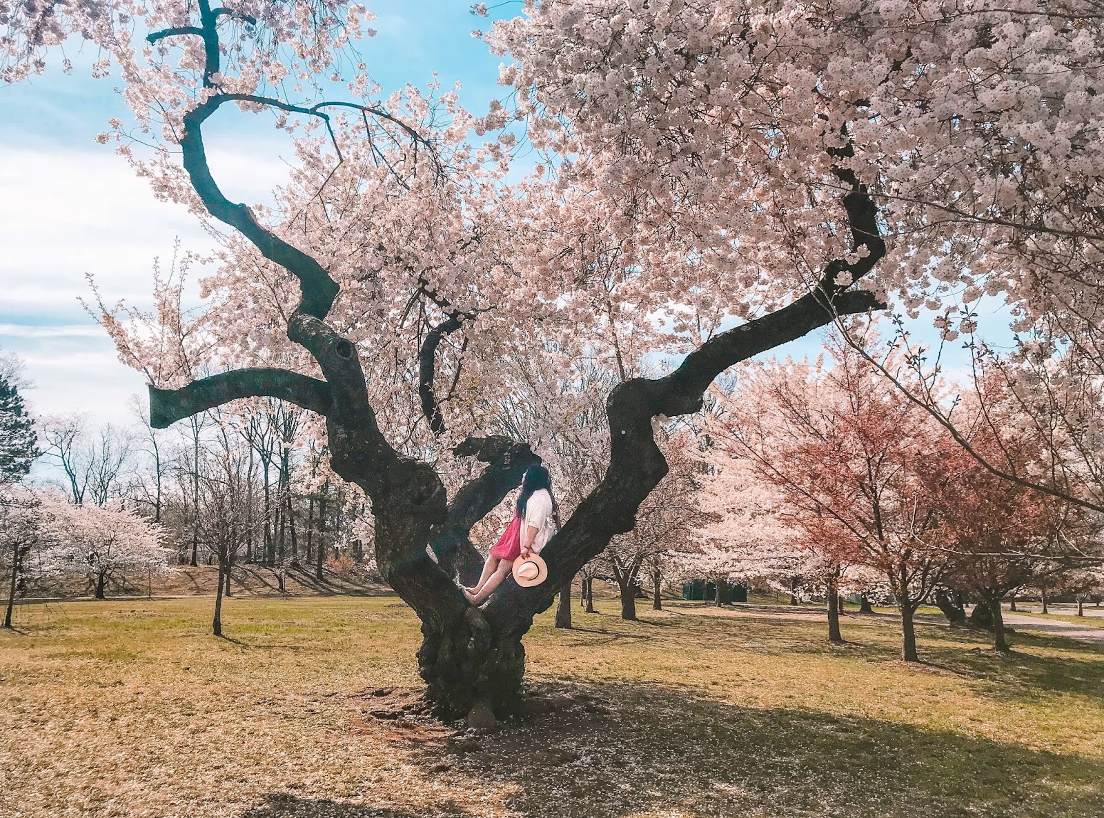 Cherry Blossom Festival Photos
