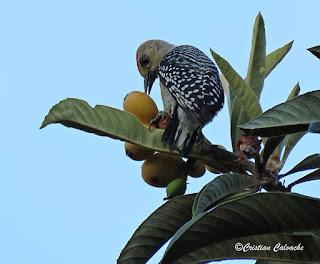 fotografia de un ave consumiendo un nispero