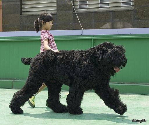 الكلب الأسود الروسي