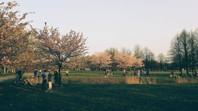 uzvaras parks, sakura, ķiršu ziedēšana