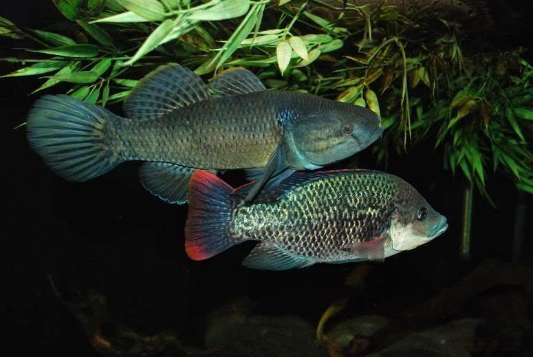 Siap Kawin Pada Saat Yang Tepat: Bagaimana Isyarat Kawin Ikan Mujair Melalui Sinyal Feromon