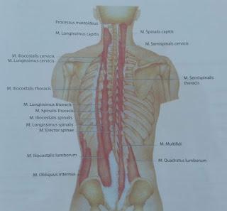 Anatomi Otot Multifidus: Origo, Insersio, Persarafan, Dan Fungsi