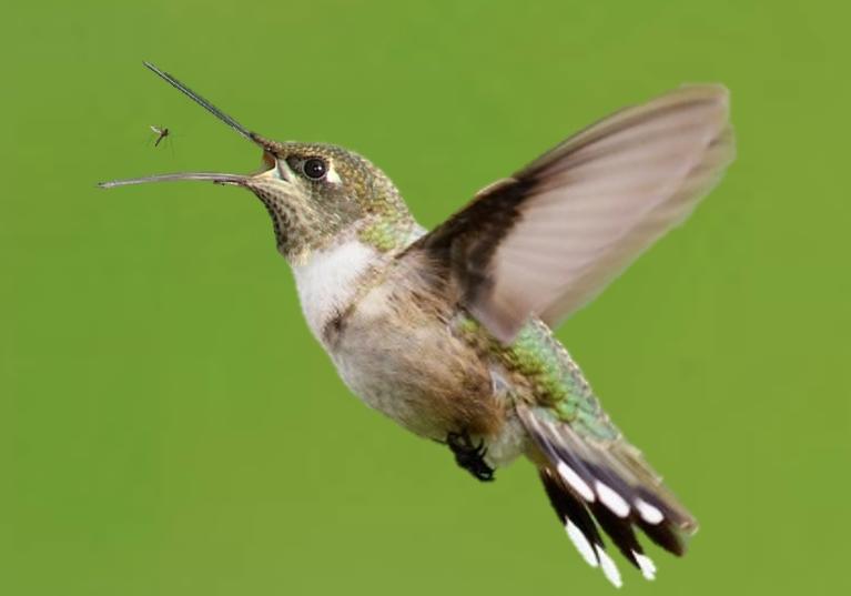 what percentage of hummingbirds diet is bugs