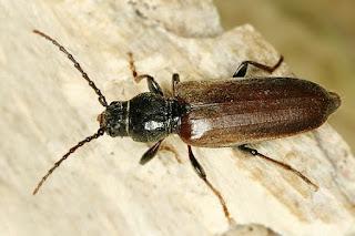 corneco-owady
