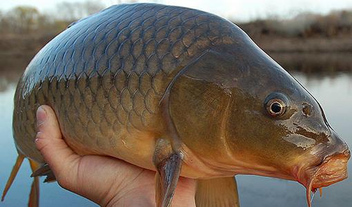 Racikan Umpan Mancing Ikan Mas Babon Tanpa Essen
