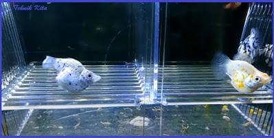 Ciri ikan molly hamil