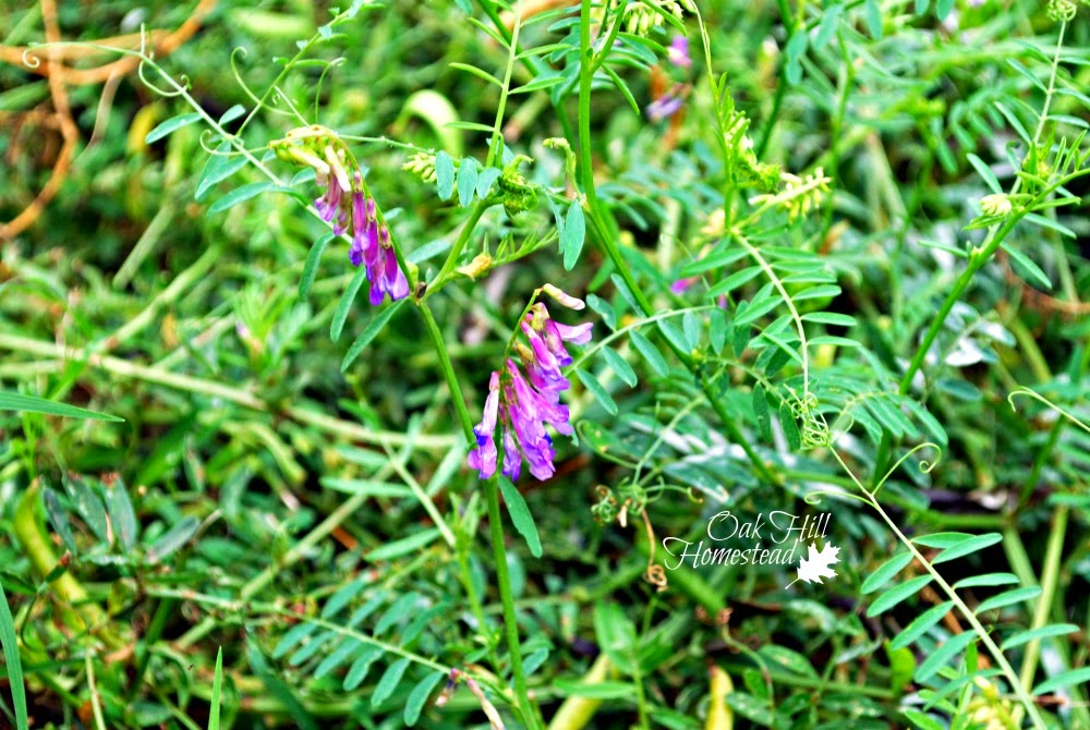 Hairy vetch flowers. This plant has almost as much protein as alfalfa.