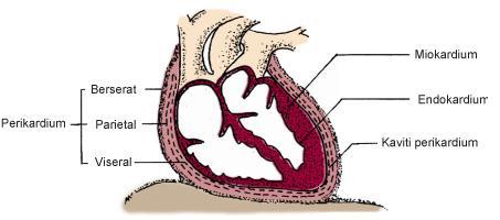 Kenali Jantung Kita