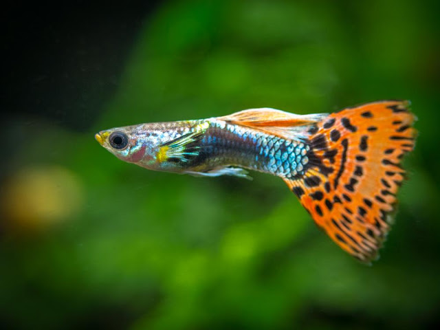 How to take care of Guppies