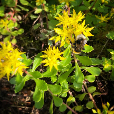 mehiläinen kiipeilee siperianmaksaruohon keltaisessa kukassa