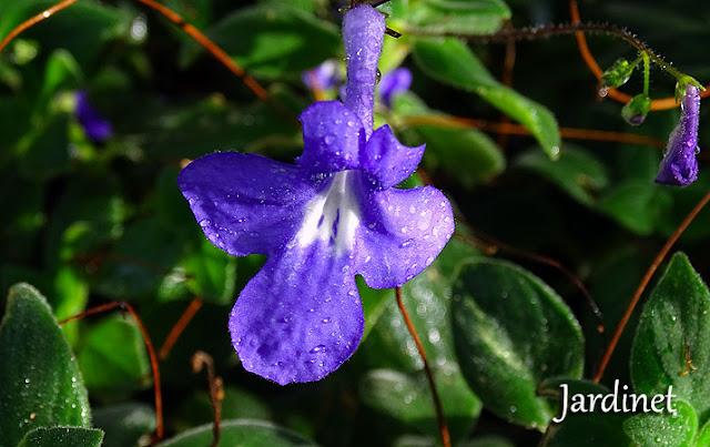 Violeta pendente - Streptocarpus saxorum