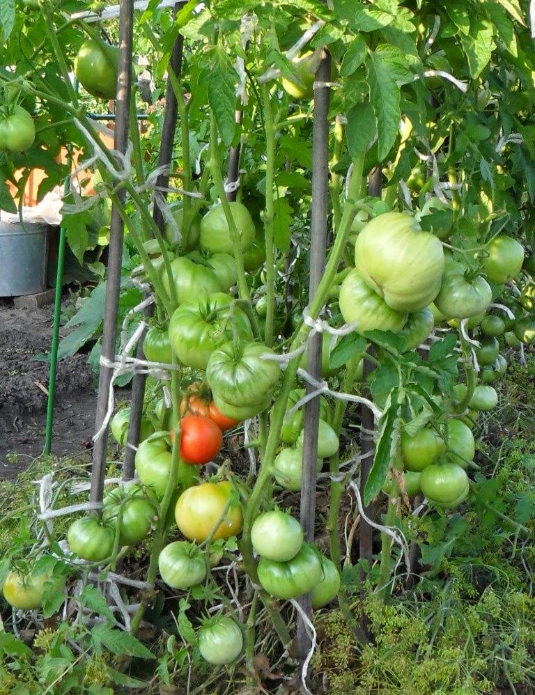 Индетерминантные помидоры растут по два корня в лунке