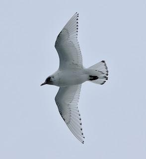 Immature Ivory Gull Newfoundland