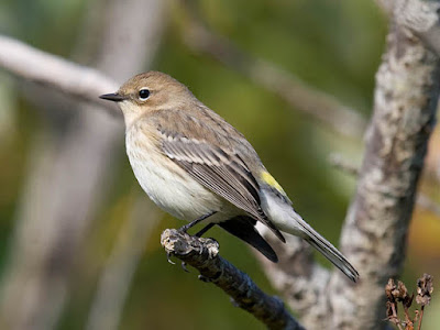 Photo of winter plumage Yellow-rumped Warbler