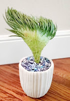 CRESTED SENECIO VITALIS - it looks like a mermaid's tail coming out of a white pot filled with blue stones.