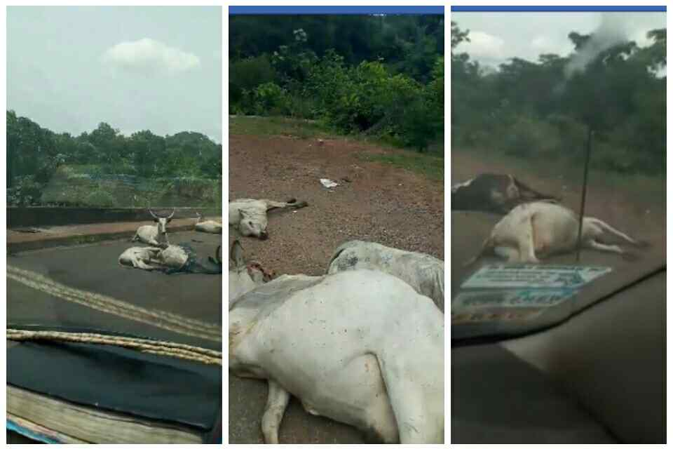 Dangote Trailer Crushes 15 Cows To The Death In Kogi (Photos, Video)
