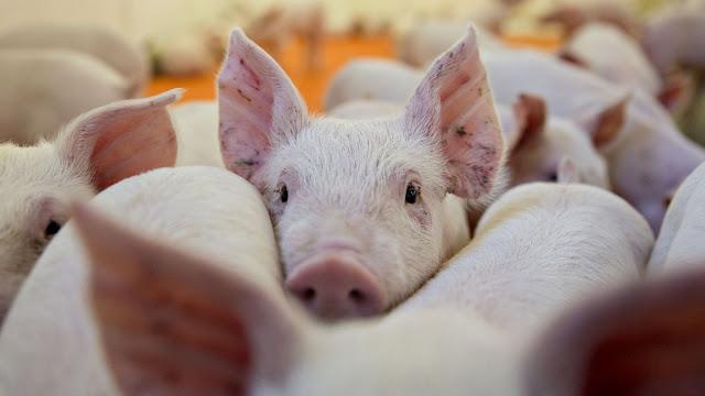 El virus que está acabando con los cerdos en China