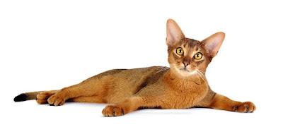 Sejarah Kucing Abyssinians