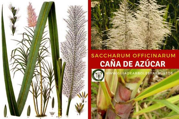 Saccharum officinarum, caña de azúcar, familia de las Gramíneas, se cultiva hoy en día en todas las regiones calurosas del mundo