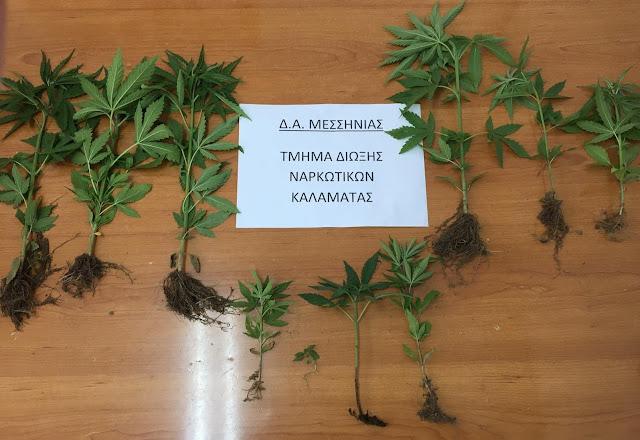 Χειροπέδες σε 2 οικιακούς καλλιεργητές κάνναβης στην Μεσσηνία