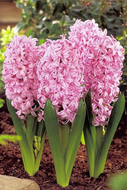 hyacinth Pink Surprise Amazon